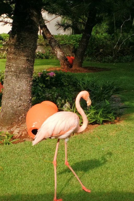 Flamingos @Dreams_LaRomana a real pleasant surprise #worldtravel #dreamdestinations