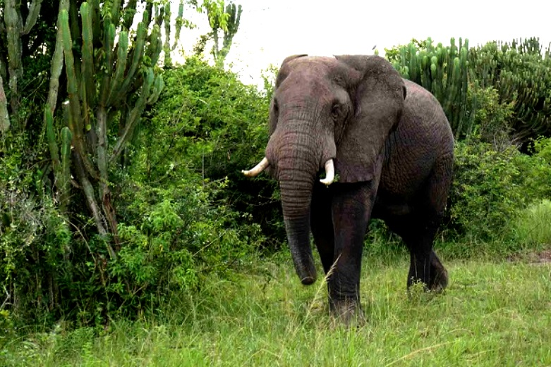 Uganda a Safari destinatin to Aim for - The Big 5 #elephantsafaris